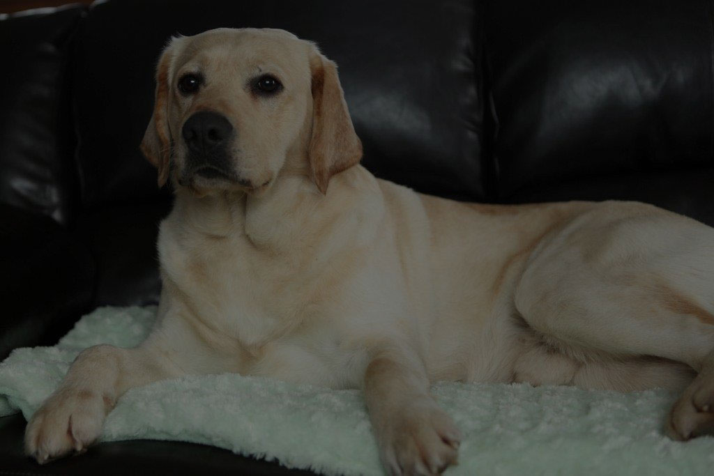 Yellow, Black & Chocolate Labrador Puppies for Sale in Ontario